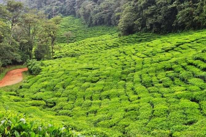 Grüner Tee als mögliche Alternative bei Zahnfleischentzündung (Gingivitis)